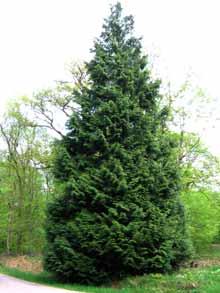 Les arbres - Quand tailler les haies de thuyas ...